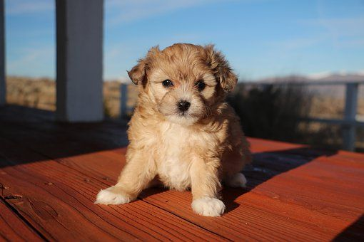 Pin On Puppies For Sale In Minnesota