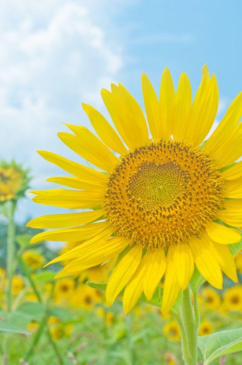 ~~ Big Sunflower  ~~