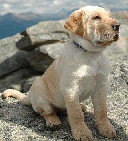 gallery for gt shar pei golden retriever mix puppy