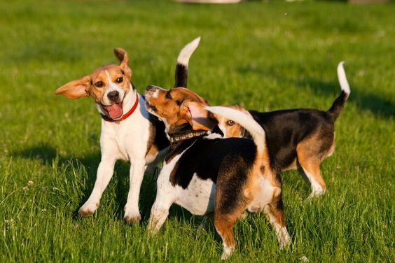 So much fun outside! #beagle #dogs