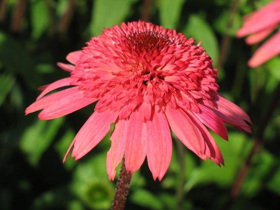 Echinacea Raspberry Truffle Sonnenhut Baumschule Garten