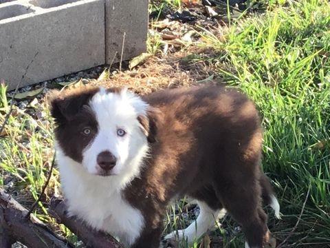 Litter Of 2 Border Collie Puppies For Sale In Gustine Ca Adn