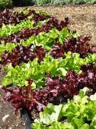 lettuce and kale can add great color