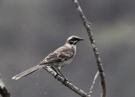 Long-tailed Mockingbird   Flickr - Photo Sharing!