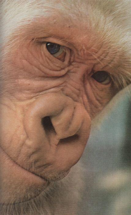 COPITO DE NIEVE.  El unico gorila albino , se encuentra en el Zoo de Barcelona , España.