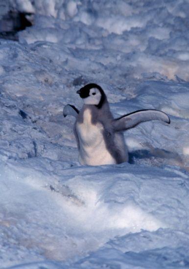 Medienwerkstatt- Wissenskarten Kaiser Pinguin  something like trading cards , science