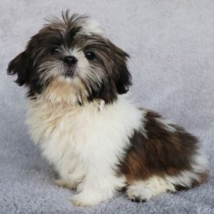 Maggie Shih Tzu Puppy 607888 Puppyspot In 2020 Shih Tzu Puppy Puppies Shih Tzu