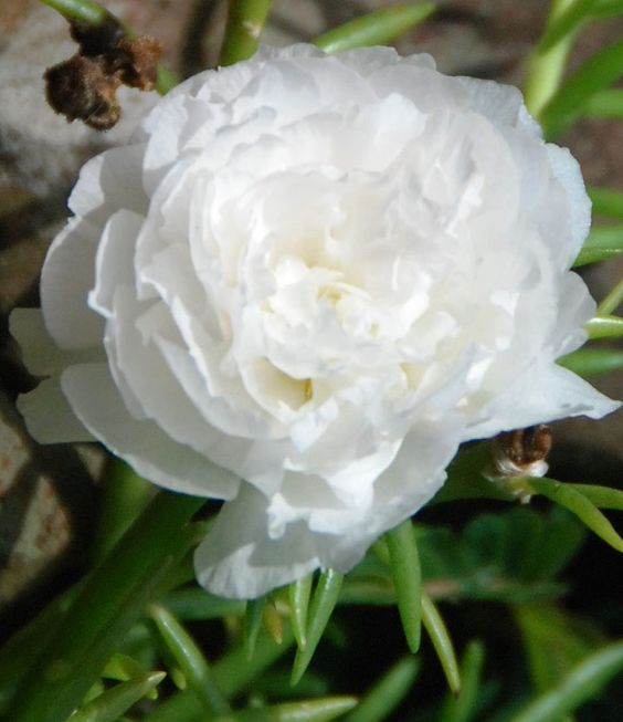 PORTULACA Moss rose DOUBLE White , Great In Containers !