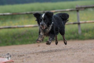 Hunde#Hütehunde#Australian Shepherd#Border Collies#Spiel mit Frisbie