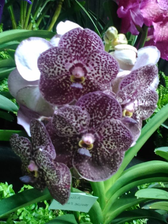 Winning Vanda from Burnham Nurseries