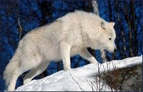 Image result for Tundra wolf