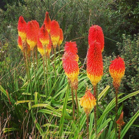 Sunset flowers!!  // My kind of flora  #sunset #greatoceanroad #roadtrip #travelyourcountry #travelVIC  #australia #wanderlust #travelphotography #flowers #explore #bushwalk #instatravel #instagood #sunsetcolours by sunsetchaserkat