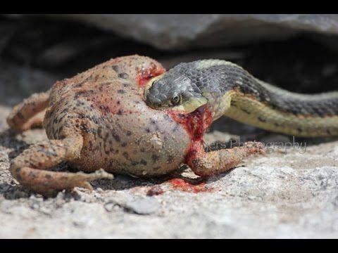 king cobra attack anaconda