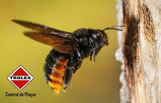 Abejas carpinteras,  Signos e identificación.  Las abejas carpinteras obtienen su nombre de su hábito de hacer huecos en la madera para depositar a sus crías.  Hay aproximadamente 7 especies de estas alrededor del mundo. Ellos no tienen una colmena como otras especies de abejas, son de naturaleza solitaria, la hembra de esta abeja puede entrar en áreas pequeñas y construir un agujero.