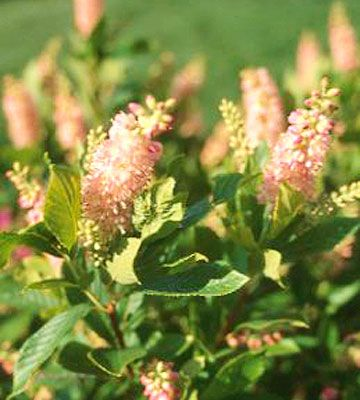 Summersweet              With a name like summersweet, you can guess that this shrub's pink or white flowers are fragrant. It's one of the few shrubs that bloom well in shade, although it also will grow in full sun in the north, provided it has adequate moisture.                                          Name: Clethra alnifolia                                          Growing Conditions: Full sun to shade and moist soil                                          Size: 3-5 feet tall and wide…