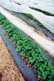 Production, culture de la fraise - Fraise Label Rouge