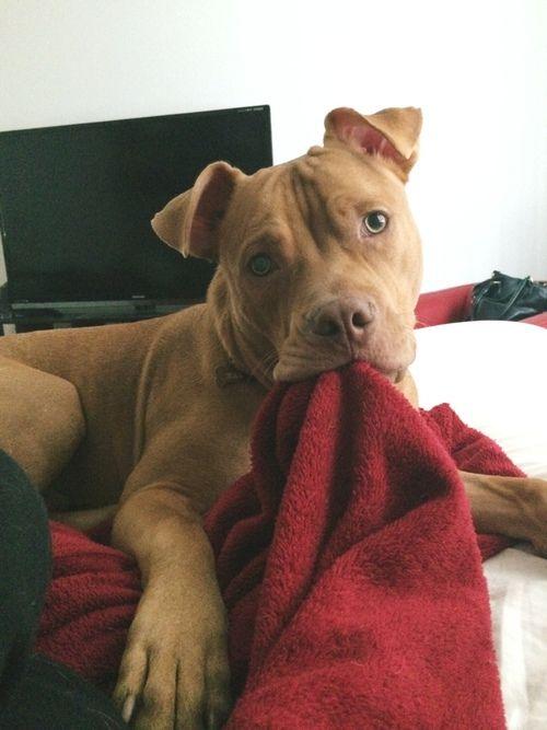 Adorable American Staffordshire Terrier  #pitbulls #dogchews  http://www.petrashop.com/