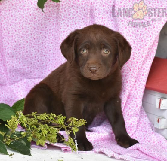Jenny Labrador Retriever Puppy For Sale In Millersburg Oh Lancaster Puppies Labrador Retriever Labrador Retriever Puppies Puppies For Sale