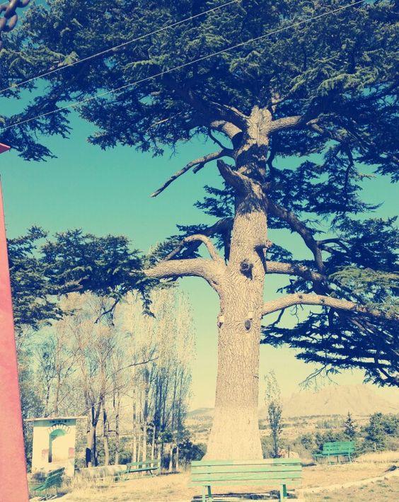Ladin Ağacı  || Konya, Türkiye