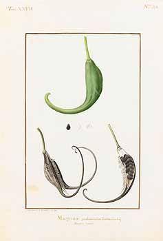 260093 Proboscidea louisianica Thell. [as Martynia proboscidea Gloxin]  / Collection des vélins du Muséum national d'histoire naturelle, vol. 27: t. 20 (1903) [P.J. Redouté]