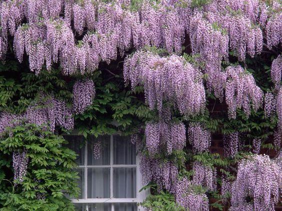 wisteria: