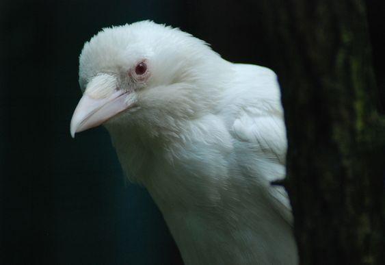 Albino crow - photo#42