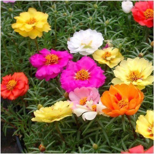 Portulaca Seeds Double Mixture Moss Rose 1000 Portulaca Flowers Moss Garden Seeds