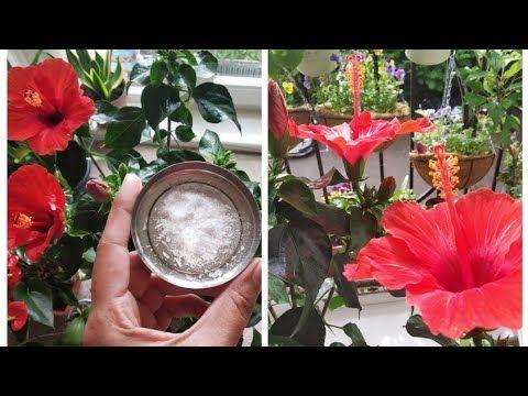 Rdmrd Rddreardi Rdhrd Rdo Rdfrd Rdlrevrd Relrdv Rd Rez Rdnrd Rdrd Rdprezrdchrd Rdkremrdzrd Garden Secrets Indoo Hibiscus Plant Garden Calendar Plant Hacks