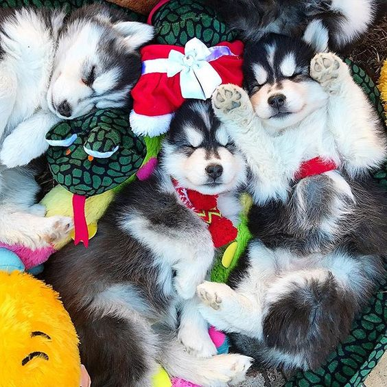 🌲🐾😍🐼 IS IT WHAT YOUR DREAMS ARE MADE OF 😉🐶😘💚 Dream BIG with @mywinterfells.siberian_huskies for more #puppies #puppiesofinstagram #cuteness #cutepuppies #huskies #fluffy: