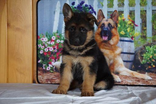 German Shepherd Dog Puppy For Sale In Fredericksburg Oh Adn