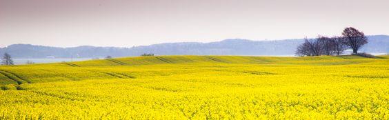 Field of Canola