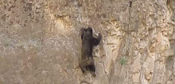 脅威の身体能力 身一つで断崖絶壁を登るクマ - http://naniomo.com/archives/7130