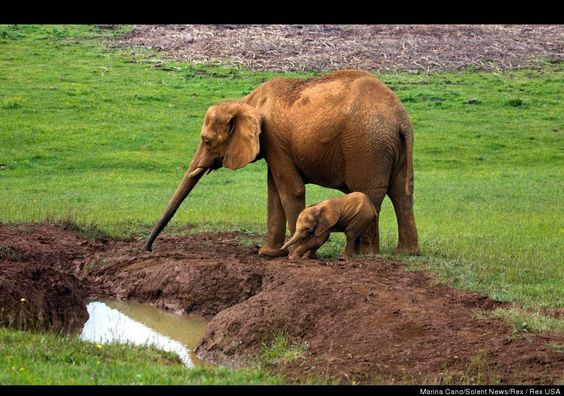 Elephant Mother Rescues Baby Trapped In Mud (PHOTOS)