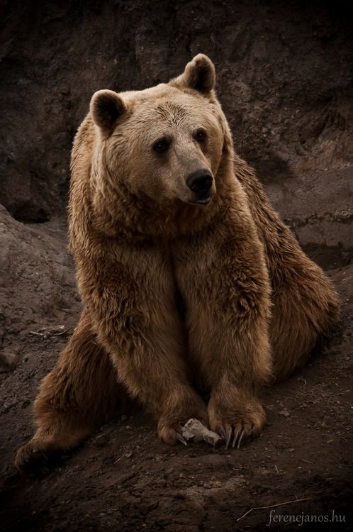 Brown Bear, wow look at the size of those claws..