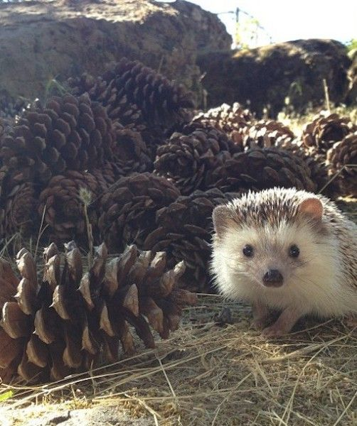 While Biddy adores traveling and meeting new people, not all hedgehogs are as socialized. DeWeese and Unterseher are happy to support responsible hedgehog ownership, but want fans of their cutie to understand that not every hedgehog will have the same spirit as Biddy.: