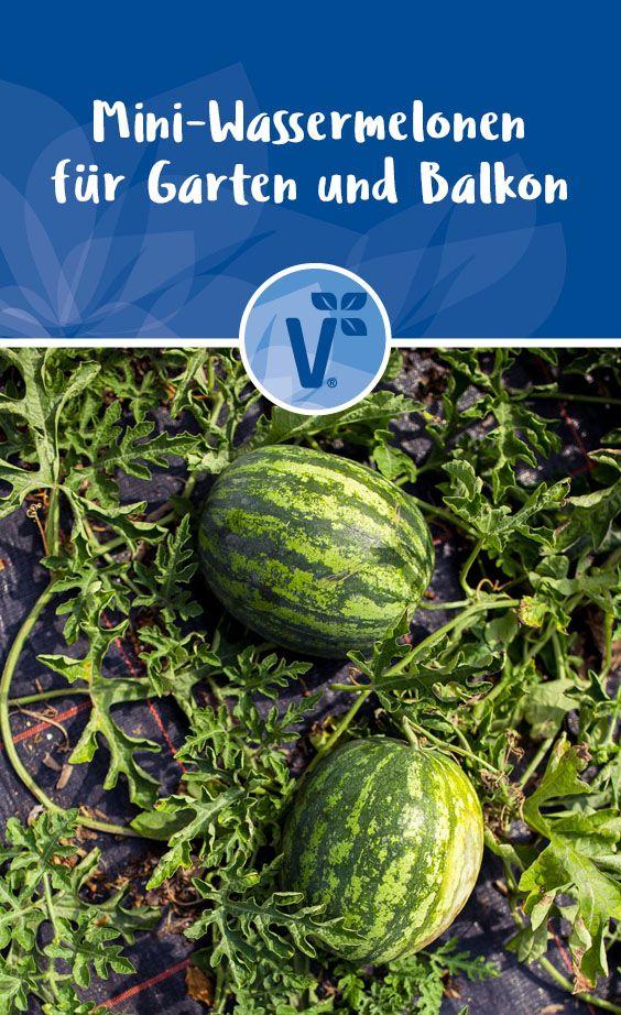 Mini Wassermelonen Pflanzen Pflegen Und Ernten Wassermelone Pflanzen Mini Wassermelone Wassermelone