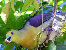 Columbidae - Wikipedia, the free encyclopedia.  Dove