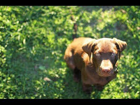 Labrador Retriever Puppies San Diego Labrador Retriever Puppies
