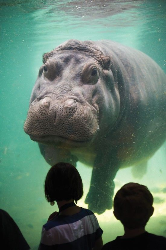 Camden's Hippos Get Playful in Made-Over Home The hippos at the newly-renovated Adventure Aquarium in Camden are happy in their new home--and so are the patrons.