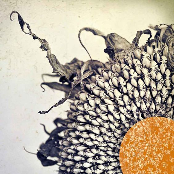 Sunflower art photography