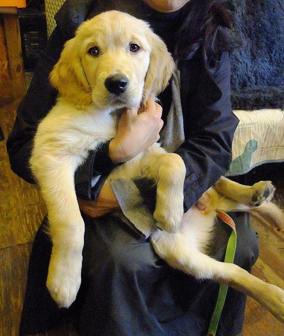 #GoldenRetriever  #ゴールデンレトリバー#Puppy #Teddy