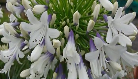 Hailing from Australia, this Southern Living Plant Collection Queen Mum Agapanthus not only sports large white flower heads with violet blue accents, it also stands tall against competing flowers vertically, too.