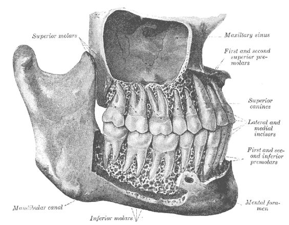 Image result for teeth xray public domain