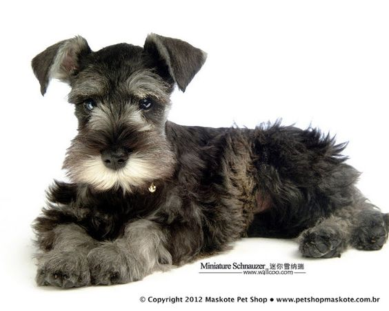 Mini Schnauzer puppy so cute❤