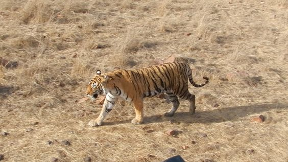 this was taken in ranthambore national park-India, truly a magnificent animal
