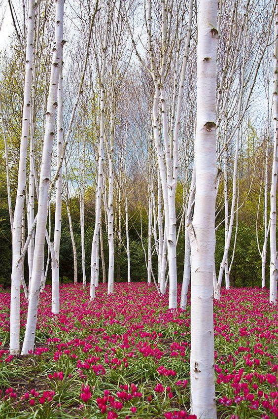 White silver birch trees with a carpet of deep rose colored tulips underneath: