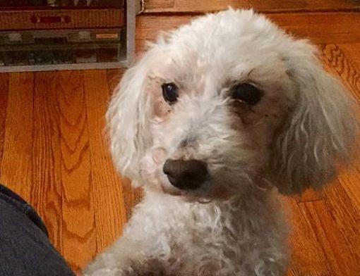 New York Ny Poodle Miniature Meet Danny A Dog For Adoption Pets Dog Adoption Miniature Poodle