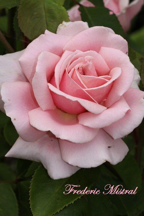 rose frederic mistral in our garden in moenchhagen near. Black Bedroom Furniture Sets. Home Design Ideas