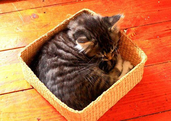 Bobby, Fluffy's Kittens (seven-weeks old Maine Coon kittens)