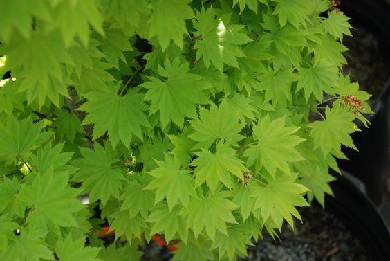 Golden Full Moon Maple - (Acer shirasawanum 'Aureum') - www.whatgrowsthere.com